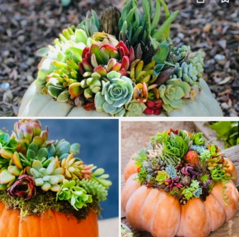 DIY, you own professional pumpkin and succulent arrangements, Large, medium and small pumpkin included